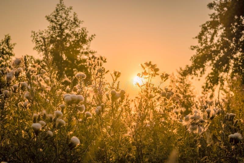 在一个领域的日出与蓟花 免版税库存照片