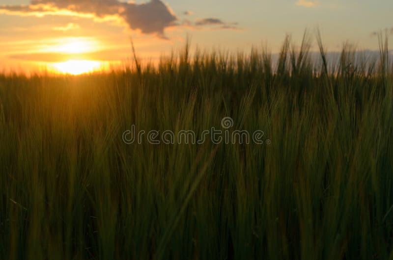 在一个领域的日落用谷物 谷物的小尖峰 库存图片