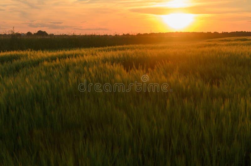 在一个领域的日落用谷物 谷物的小尖峰 库存照片