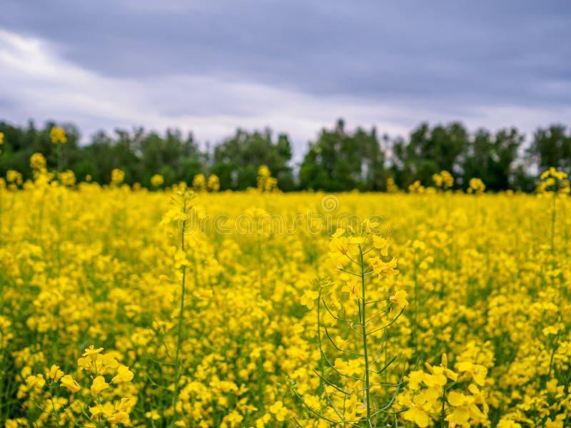 在一个领域的明亮的黄色开花的油菜与对比的树在背景中 免版税库存图片