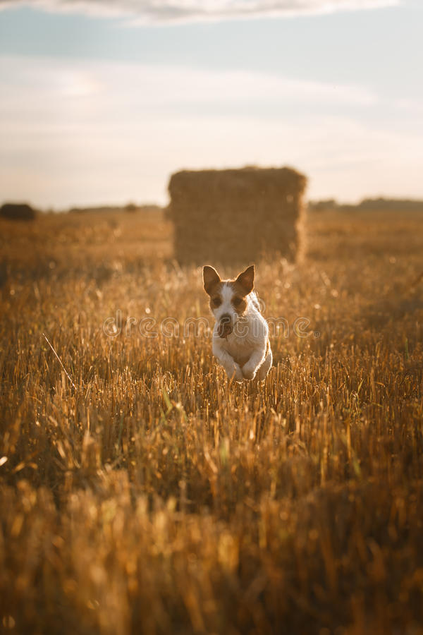 Download 在一个领域的杰克罗素狗在日落 库存图片. 图片 包括有 敬慕, 表面, 插孔, browne, 查找, 本质 - 59100821