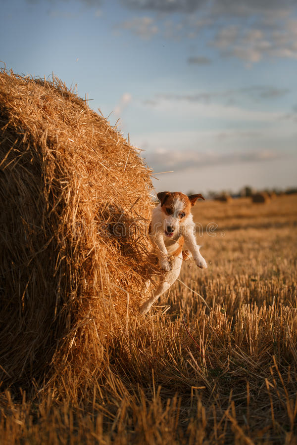 Download 在一个领域的杰克罗素狗在日落 库存图片. 图片 包括有 绿色, 敬慕, browne, 室外, 早晨, 无忧无虑 - 59100853