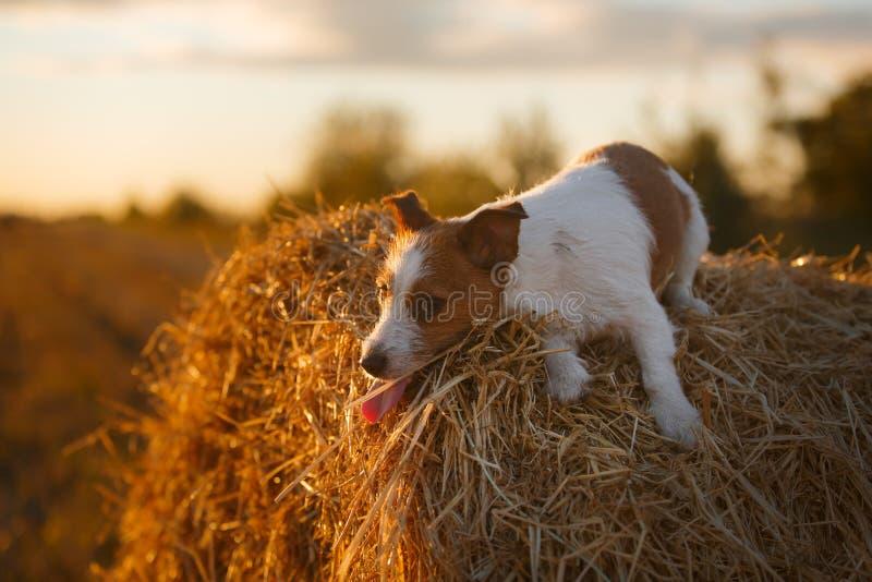 Download 在一个领域的杰克罗素狗在日落 库存图片. 图片 包括有 外面, backarrow, 插孔, 绿色, 哺乳动物 - 59100895