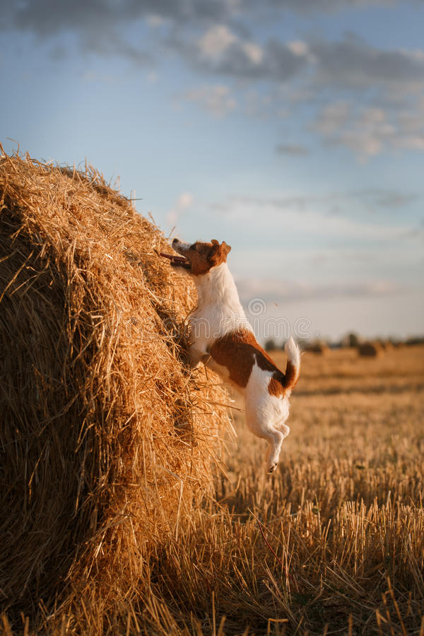 Download 在一个领域的杰克罗素狗在日落 库存图片. 图片 包括有 伴随, 似犬, 宠物, browne, 愉快, 绿色 - 59100901