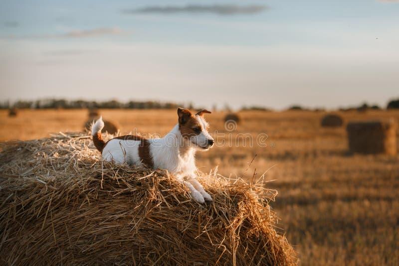 Download 在一个领域的杰克罗素狗在日落 库存照片. 图片 包括有 开花, 求知欲, 宠物, 草甸, 似犬, 敌意, 投反对票 - 59100910