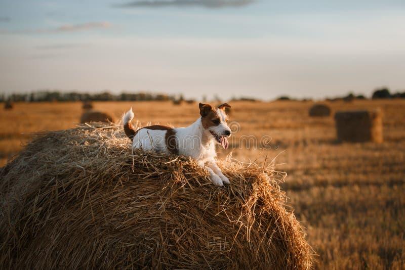 Download 在一个领域的杰克罗素狗在日落 库存照片. 图片 包括有 室外, 求知欲, 背包, 早晨, 本质, 敬慕, 国内 - 59100922