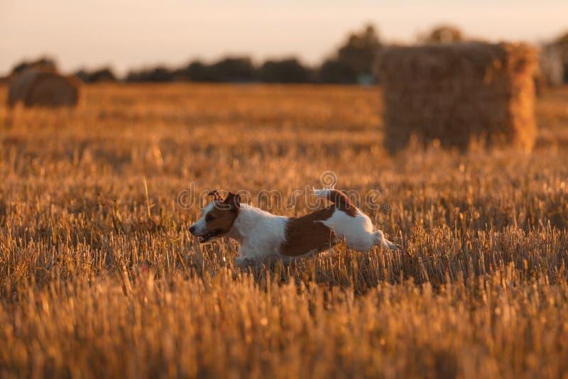 Download 在一个领域的杰克罗素狗在日落 库存图片. 图片 包括有 纯血统, 开花, 求知欲, 国内, 活动家, 草甸 - 59100929
