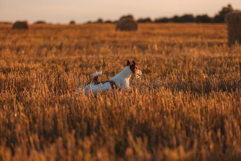 Download 在一个领域的杰克罗素狗在日落 库存图片. 图片 包括有 活动家, 逗人喜爱, 无忧无虑, 纯血统, 投反对票 - 59100973