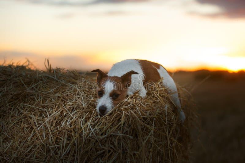 Download 在一个领域的杰克罗素狗在日落 库存图片. 图片 包括有 活动家, 插孔, 似犬, backarrow, 背包 - 59101005