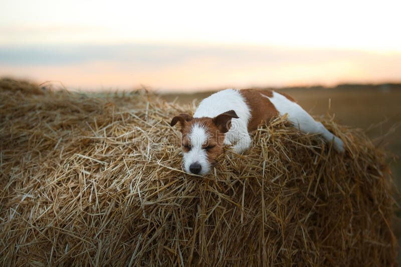 Download 在一个领域的杰克罗素狗在日落 库存图片. 图片 包括有 宠物, 早晨, 纯血统, 敬慕, 愉快, browne - 59101009