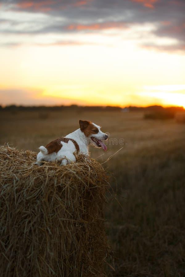 Download 在一个领域的杰克罗素狗在日落 库存图片. 图片 包括有 愉快, 逗人喜爱, 投反对票, 草甸, 插孔, 开花 - 59101019