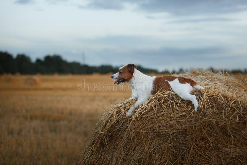 Download 在一个领域的杰克罗素狗在日落 库存图片. 图片 包括有 宠物, 哺乳动物, 室外, 插孔, 外面, 敬慕 - 59101147
