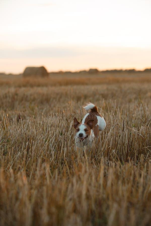 Download 在一个领域的杰克罗素狗在日落 库存照片. 图片 包括有 国内, 伴随, browne, 远期, 敬慕, 哺乳动物 - 59101238