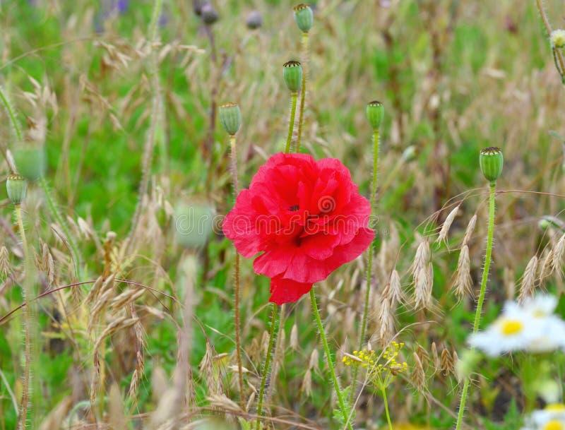 在一个领域的桃红色鸦片绽放在一个晴朗的夏日 免版税库存图片