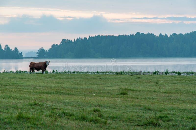 在一个领域的母牛在一个湖附近在菲利普斯塔德瑞典 免版税图库摄影