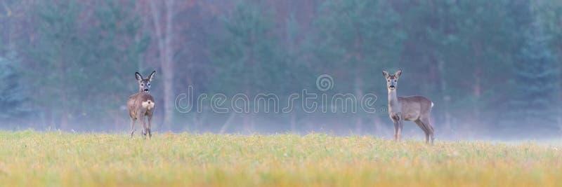 在一个领域的狍在一个有雾的早晨 免版税库存图片