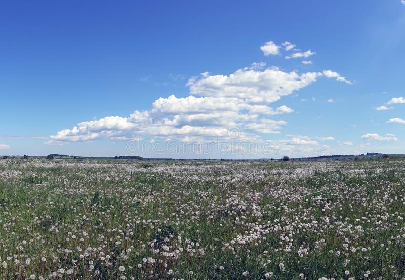 在一个领域的白色蓬松退色的蒲公英在与云彩的一天空蔚蓝下 库存照片