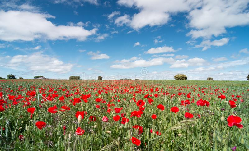 在一个领域的美丽的红色鸦片花与天空蔚蓝 免版税图库摄影