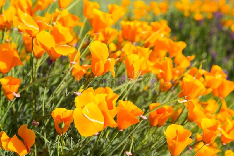 在一个领域的花菱草与紫色花 库存照片