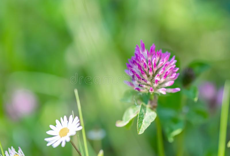 在一个领域的草和花三叶草在夏天 自然被弄脏的背景 E r r 库存照片