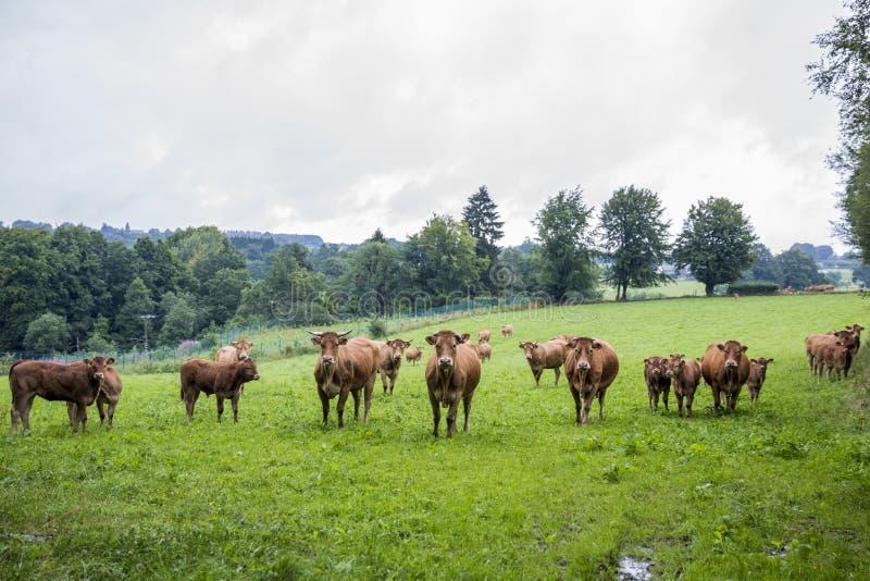 在一个领域的香的母牛在比利时 免版税库存图片