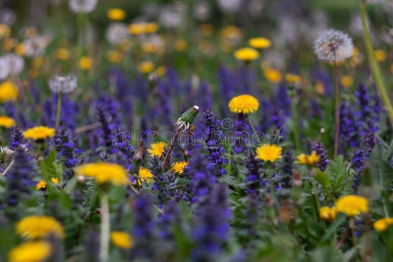在一个领域的黄色和紫色花在春天在一好日子 库存图片