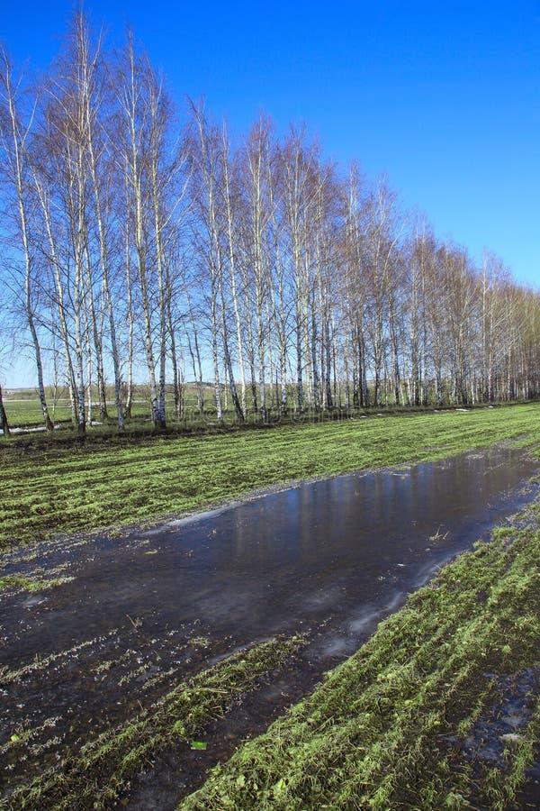 在一个领域的年轻桦树在春天 免版税图库摄影