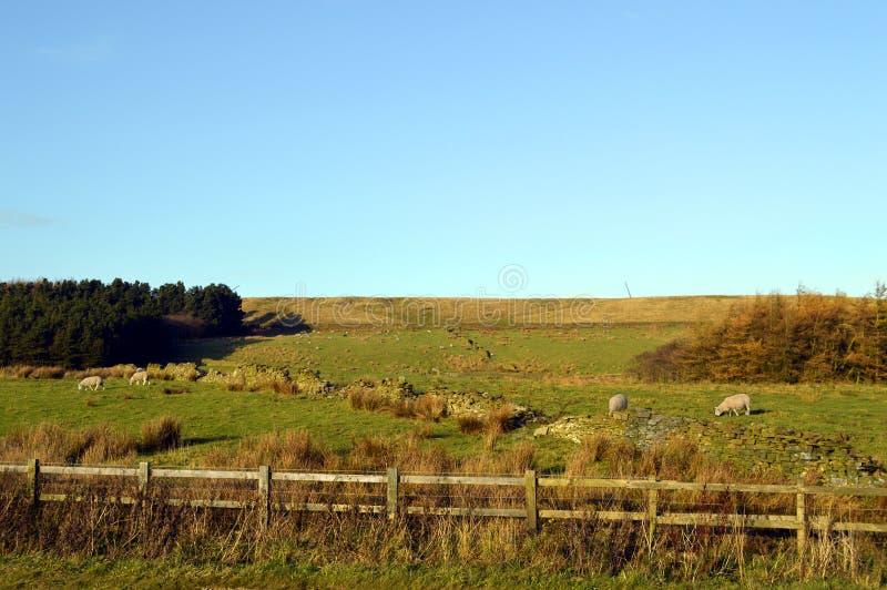 在一个领域的绵羊在西方叶绿泥石停泊 免版税库存照片
