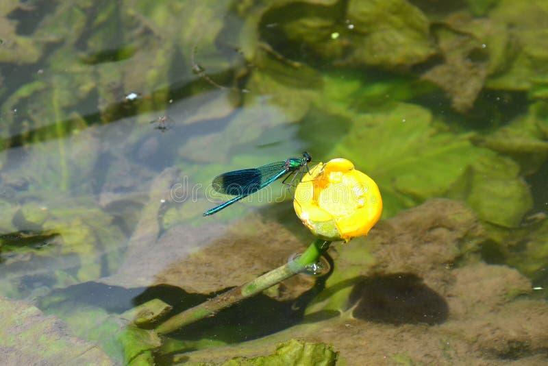 在一个黄色百合垫的绿松石蜻蜓 图库摄影