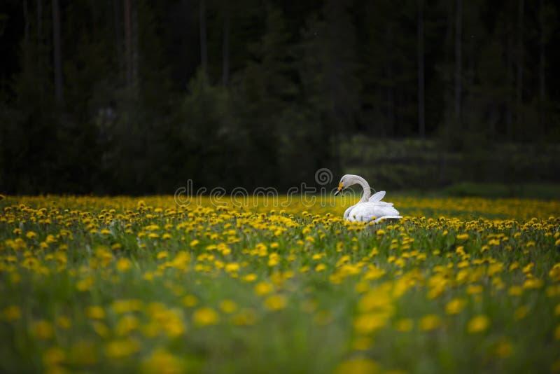 在一个黄色花草甸的一只孤独的天鹅在芬兰 免版税库存照片