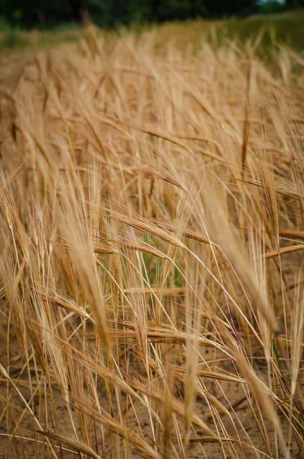 在一个黄色领域的背景成熟的大麦钉 E 免版税库存照片