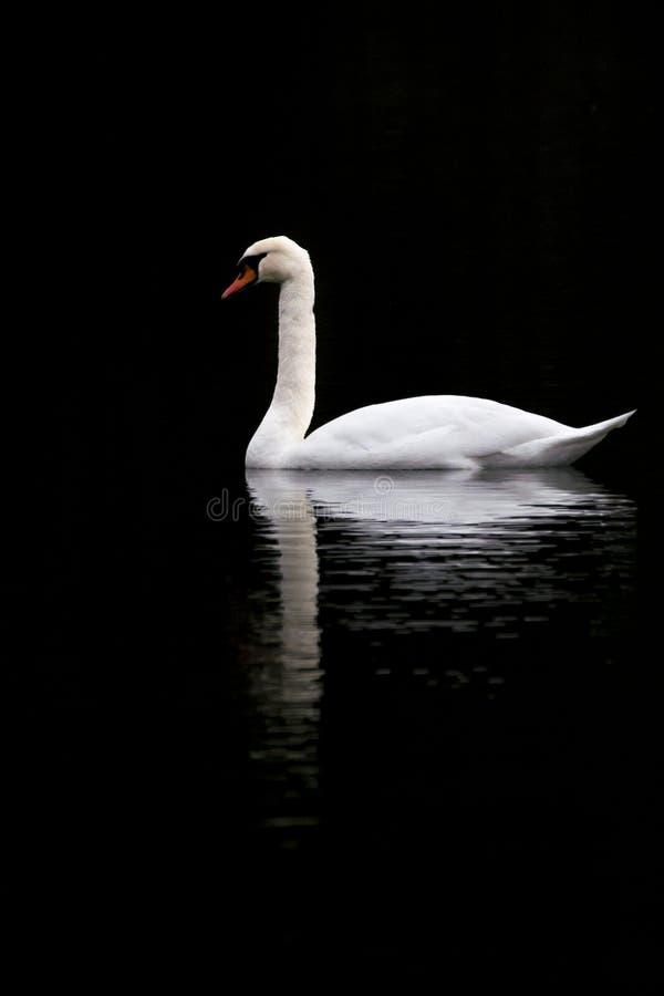 在一个黑湖的天鹅 库存照片