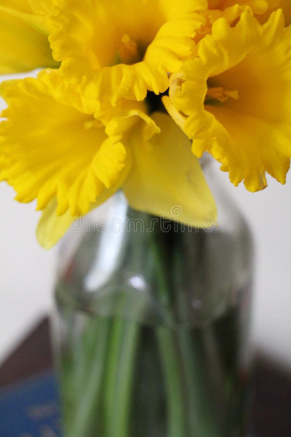 在一个玻璃瓶子的黄色黄水仙 库存照片
