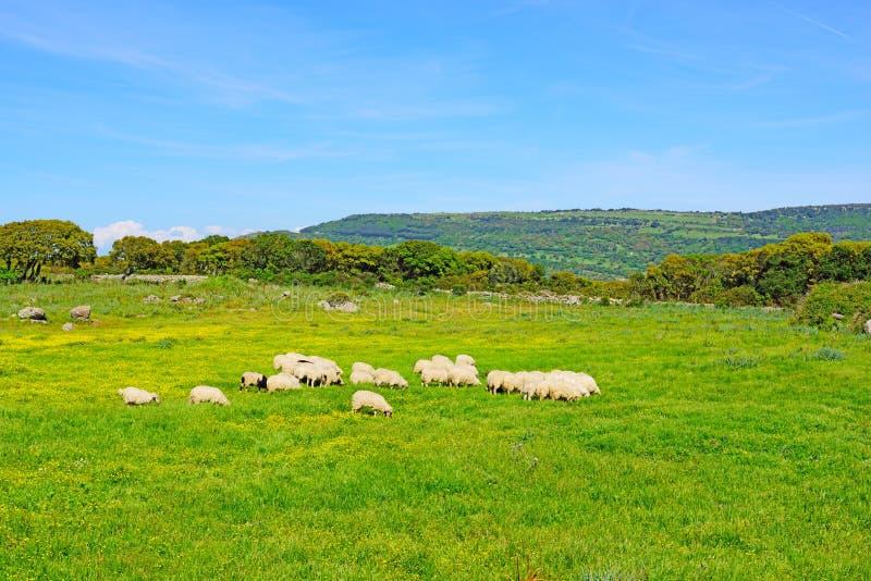 在一个绿色和黄色领域的绵羊 库存图片