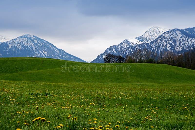 在一个绿色草甸后的斯诺伊山用在bava的蒲公英 库存照片