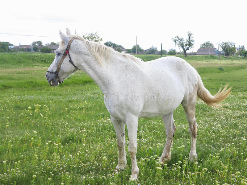 Download 在一个绿色草甸的白马在夏日 库存照片. 图片 包括有 吃草, 没人, 题头, 草甸, 背包, 绿色, 农村 - 72359760