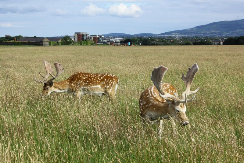 在一个绿色领域的小鹿与在他们后的一个现代城市 菲尼斯公园,都伯林,爱尔兰 免版税库存图片