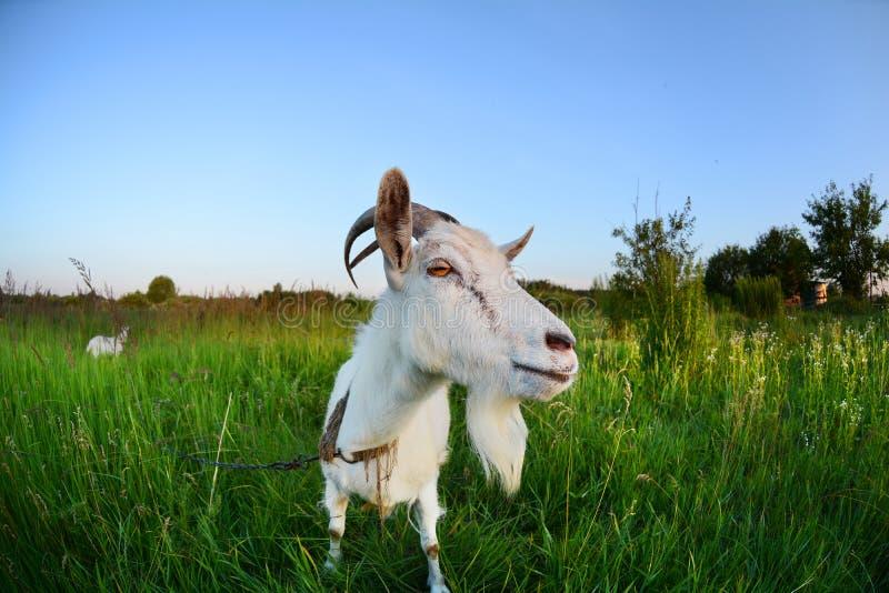 在一个绿色领域的山羊 在全天相镜头的滑稽的山羊照片写真 库存图片