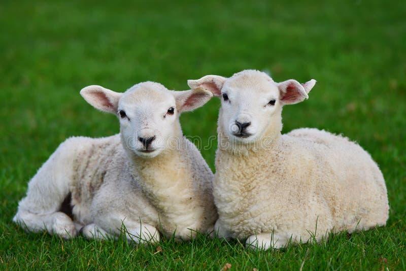 在一个绿色领域的羊羔 免版税库存图片