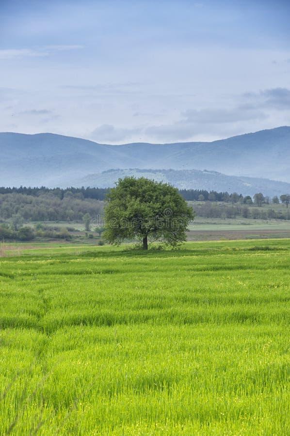 在一个绿草草甸的唯一树有山、湖、蓝天和云彩的作为背景 免版税库存照片