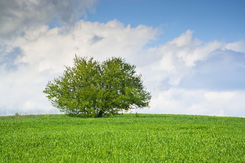 在一个绿草草甸的唯一树有蓝天和云彩的 免版税库存照片