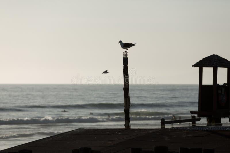 在一个ocear码头的鸟剪影在日落 库存图片