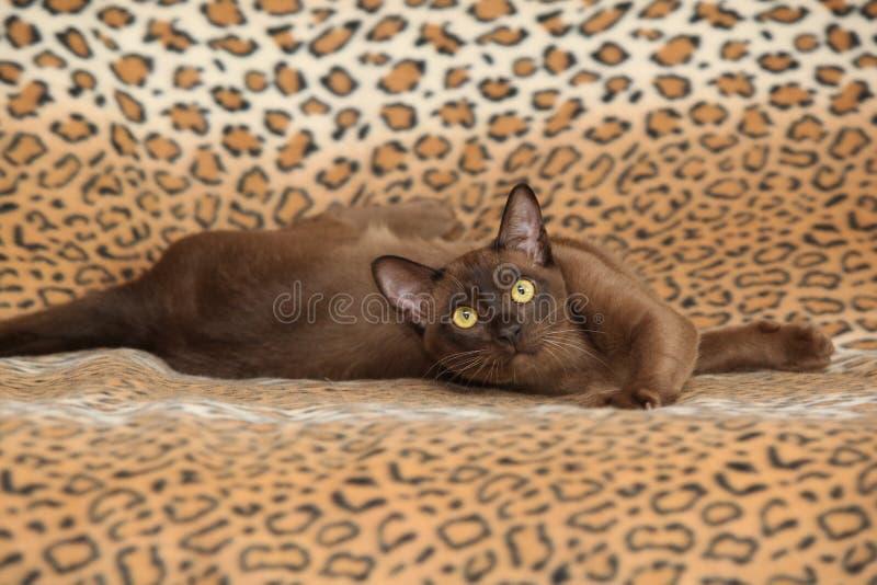 在一些毯子前面的美丽的缅甸猫 免版税库存图片