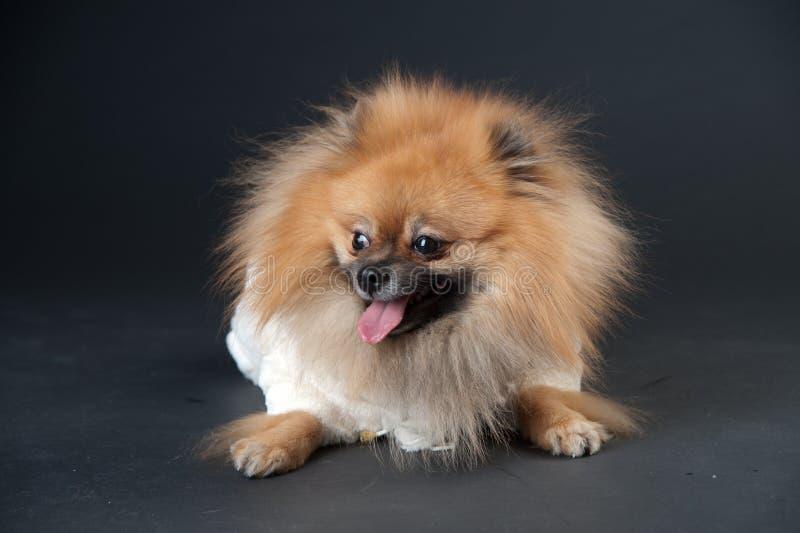 在一件白色外套的矮小的波美丝毛狗 图库摄影