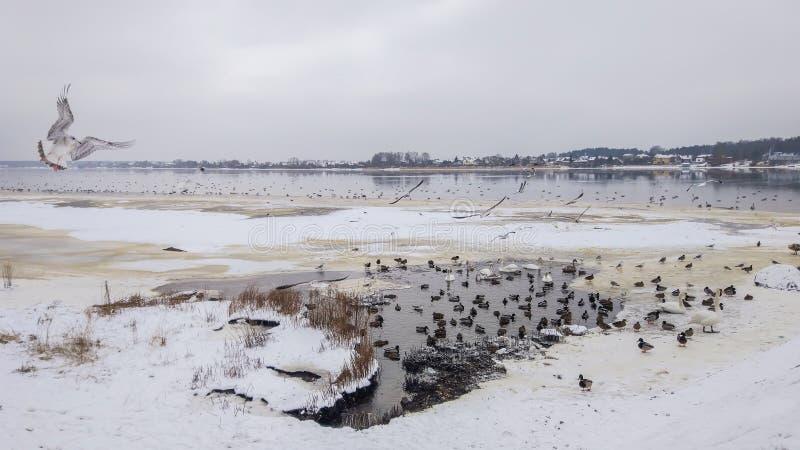 在一冬天河道加瓦河的海鸥在里加,拉脱维亚,东欧 库存图片