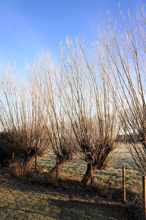 在一冷淡winterday的典型的荷兰风景与4棵角被割下的动物柳树 库存图片