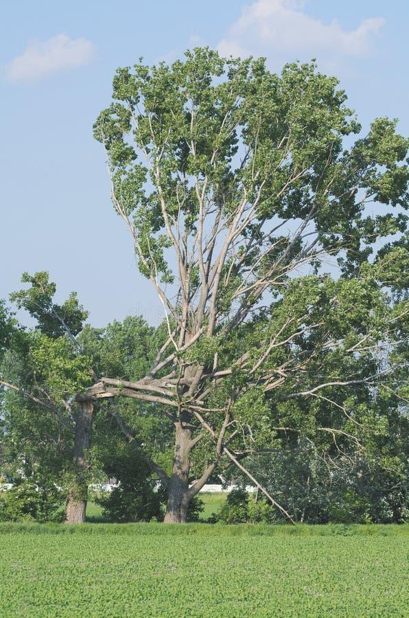 在一半打破的树 库存图片