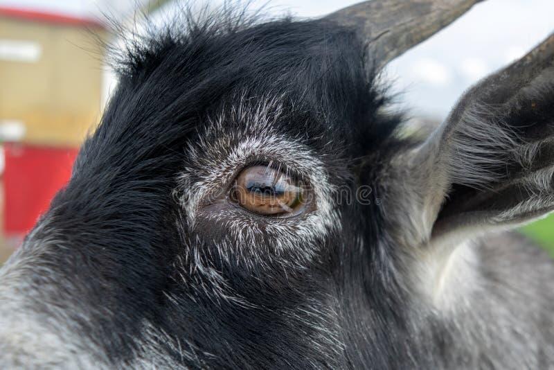 在一只小黑山羊的眼睛的特写镜头 免版税库存照片