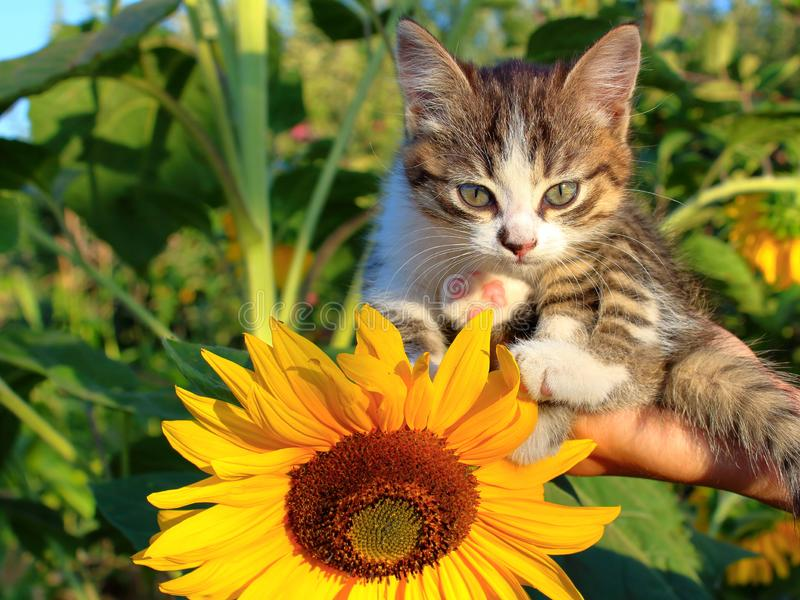 在一只手上的灰色小猫在向日葵 免版税库存照片