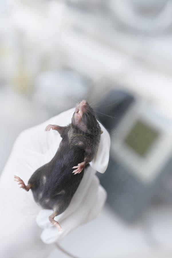 在一只手套的手上固定的黑实验室老鼠,空间 库存图片